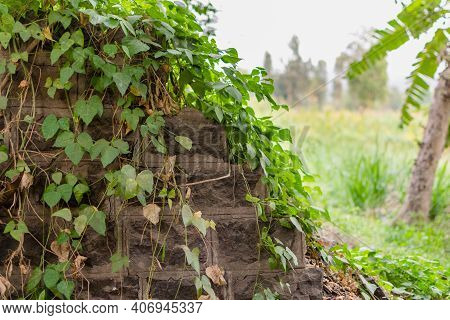 Old Stone Wall With Green Wild Creepers For Background