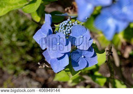 Detail Of Purple Blue Hydrangea Macrophylla (hortensia Blaumeise) Garden Flower With Background Blur