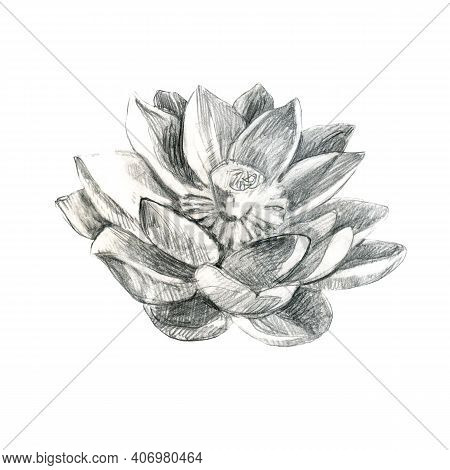 Lotus. Pencil Lotus Flower, Water Lily. Pencil Drawing Of A Water Lily Flower.