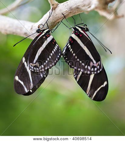 Mating Zebra Longwing Butterflies