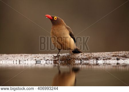 Adult Red-billed Oxpecker (buphagus Erythrorhynchus) Sits On The Edge Of Small Lake With Drop Of Wat