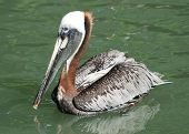 Endangered Brown Pelican (Pelecanus occidentalis)swimming in clear water. poster