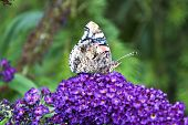 An image taken in the Lake District Cumbria UK of a Painted Lady Butterfly perched on a Purple Butterfly Bush poster