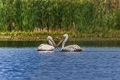 Dalmatians Pelicans (Pelecanus crispus) in the Danube Delta Romania poster