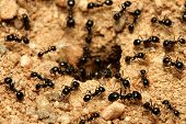 A macro shot of black ants working together. poster