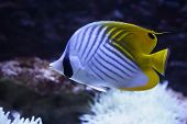 white-black striped coral fish with yellow tail fin poster