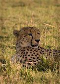 Cheetah in Masai Mara its licking lips poster