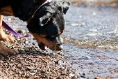 A female Rottweiler plays in lake water trying to catch a wave with her mouth. poster