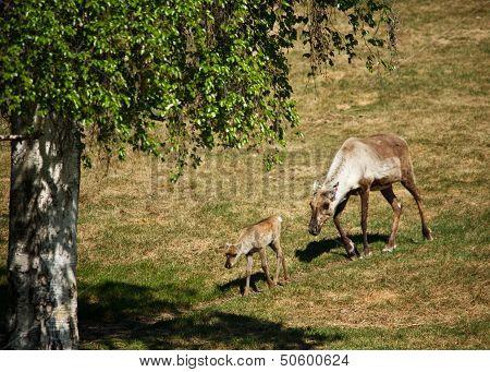 Caribou Mother and Calf