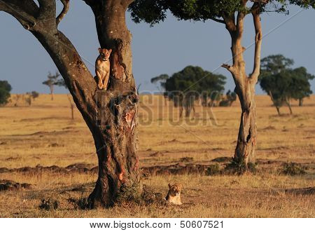 African Lions (Panthera leo) on the Masai Mara National Reserve safari in southwestern Kenya.