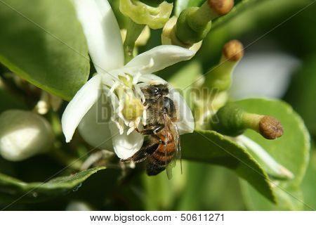 Honey Bee Pollinating Orange Blossom