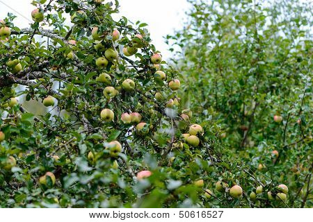 A Lot Of Apples On An Apple Tree. Natural Landscape