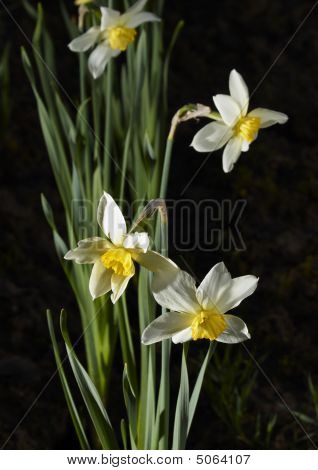 Narcissuses May