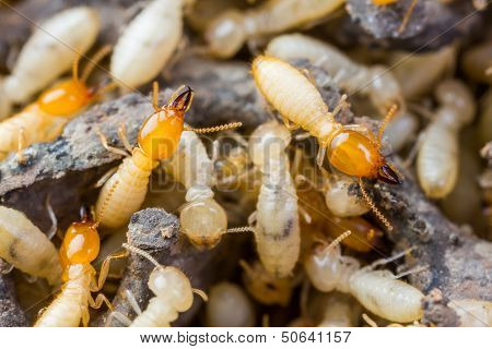 Termite Or White Ants