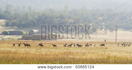 A Large Elk Herd Skirts A Ranch In New Mexico