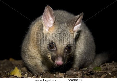 Brushtail possum forages
