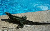 This is a green and medium iguana found next to a pool. The contrast between the 3 textures (water ground animal) is by far the most impressive thing. poster