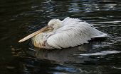 Great white pelican (Pelecanus onocrotalus) floating on the dark water. poster