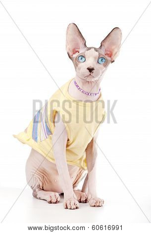 Canadian Sphynx cat wearing yellow dress and pearl necklace sitting on white background poster