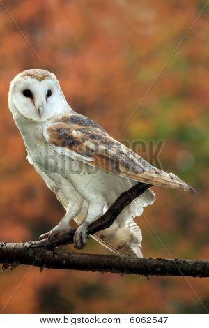 Autumn Barn Owl