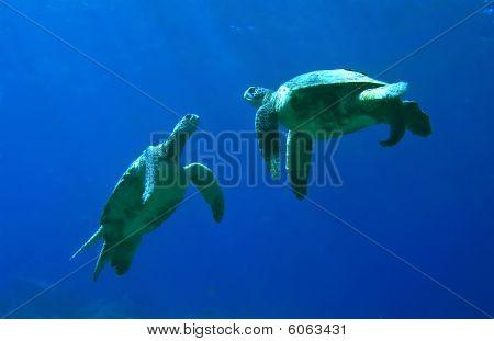 Green Sea Turtles Playing