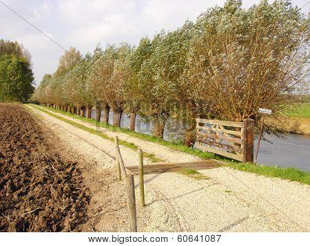 Grit Lane And Pollard Willows