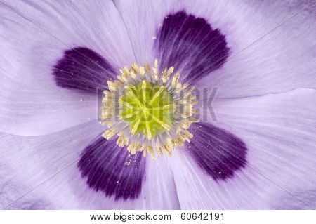 Poppy seed capsule straight from above and in extreme close up displaying its yellow green nine segmented stem and pistils against the four purple white flower leaves poster