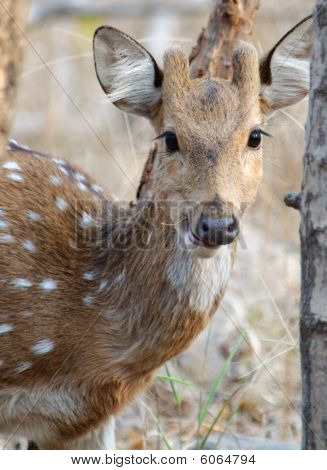 Young male Spotted deer Axis axis looking into camera poster