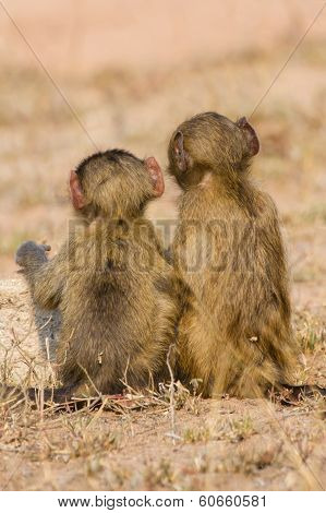 Cute baby baboon sit in brown grass learning about nature and what to do poster