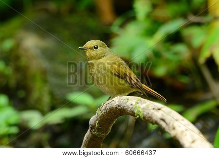 beautiful female Rufous-bellied Niltava (Niltava sundara) in Thai forest poster