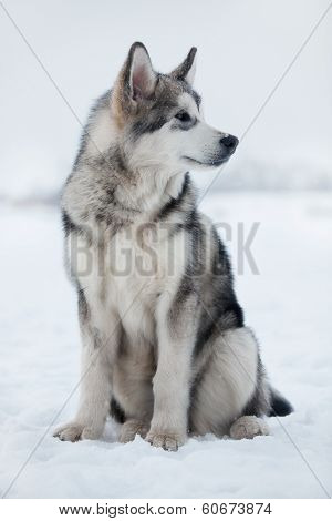 Husky Puppy Sitting In The Snow