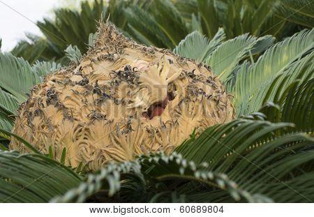 Cycas Revoluta Seed Capsule