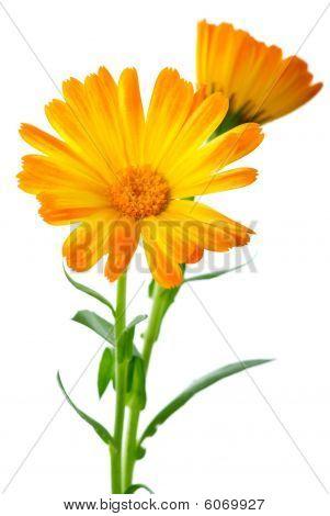 Herbs: Two Calendula Flowers