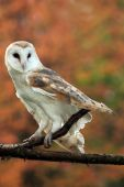 Closeup of a Barn Owl against autumn background. poster