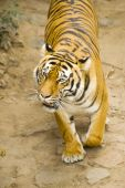 young Amur tiger roams the trail in the enclosure of zoo poster