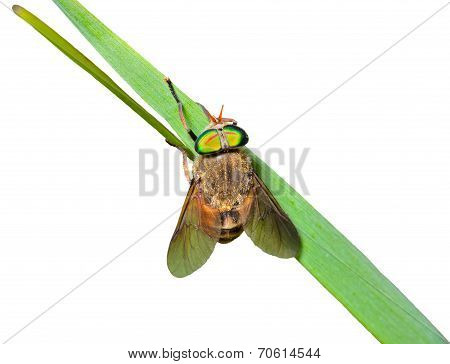 Fly On Grass-blade