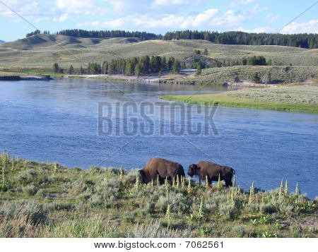 Bisons on the lakeshore