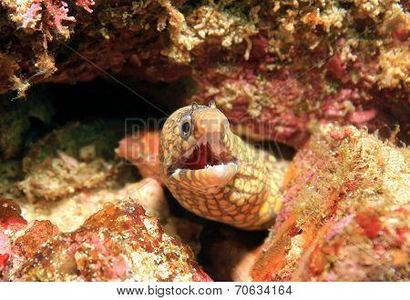 Jeweled Moray (Muraena Lentiginosa) Catalina Islands Costa Rica poster