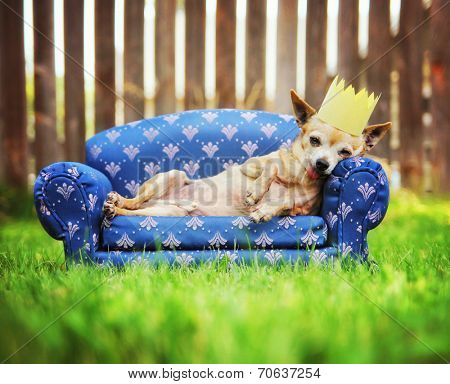 a cute chihuahua with a crown on napping on a couch outside in the grass poster