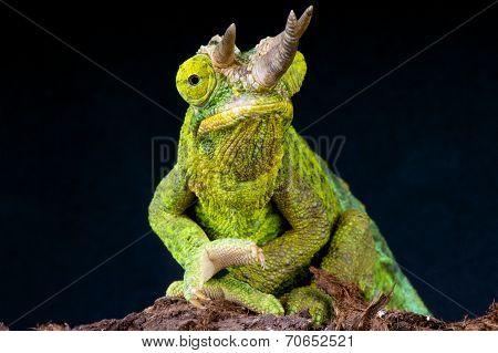 Jackson's chameleon / Trioceros jacksonii