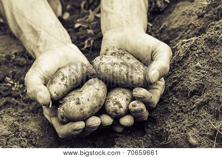 fresh organic potatoes vintage