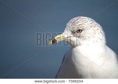 Close-up Of Laridade Seagull