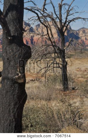 Burnt trees from a forest fire on top of Brins Mesa red rock in Sedona Arizona. poster