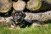 Six week old pedigree german shepherd puppy outdoors on a sunny day. poster