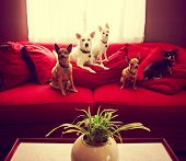 a group of chihuahua dogs sitting on a couch in a living room toned with a retro vintage instagram filter effect  poster