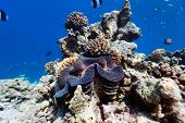 Beautiful coral reef and a giant blue clam underwater at Maldives poster