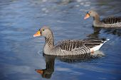 Greylag Geese (anser anser) swimming on a lake poster