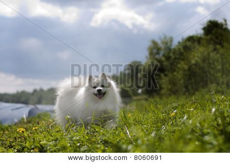 Funny Japanese spitz dog-walking in the meadow poster