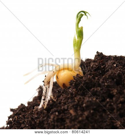 Sprouted yellow peas on organic soil with young plant over white background poster