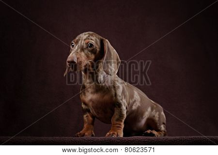 Dachshund puppy brown background